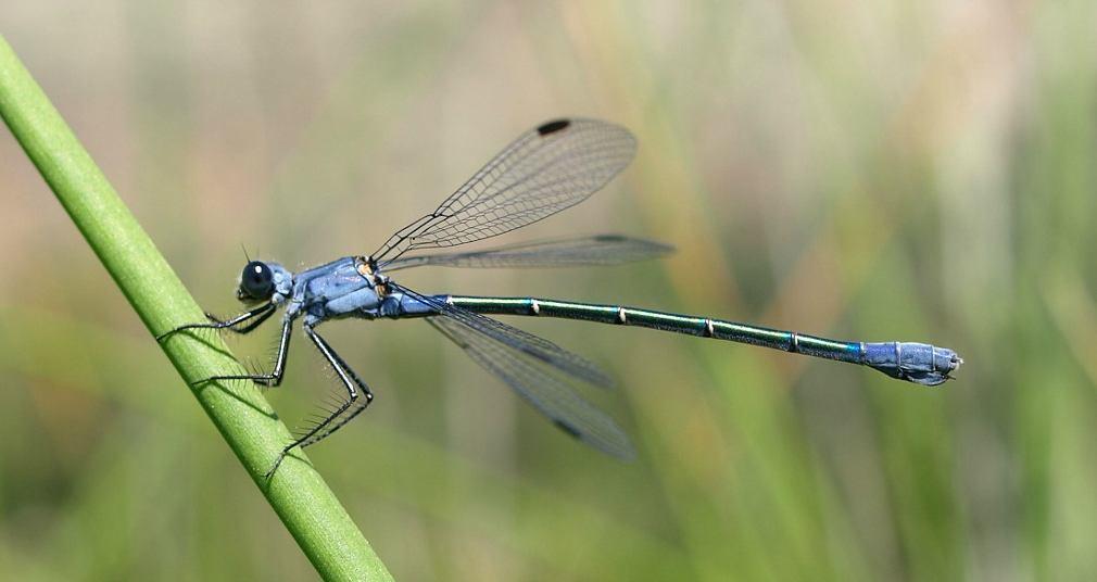 Λιβελούλη: Αυτό είναι το πιο «ταξιδιάρικο» έντομο στον πλανήτη