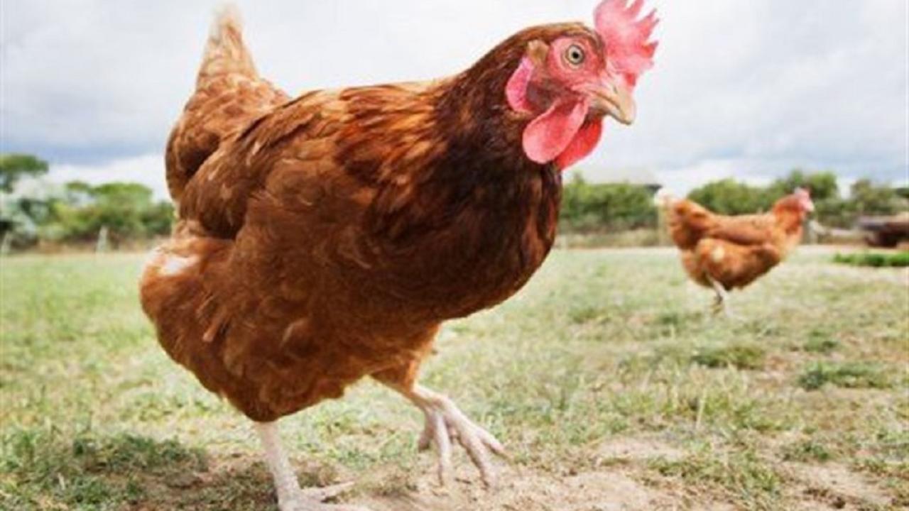 μητέρα κότα dating